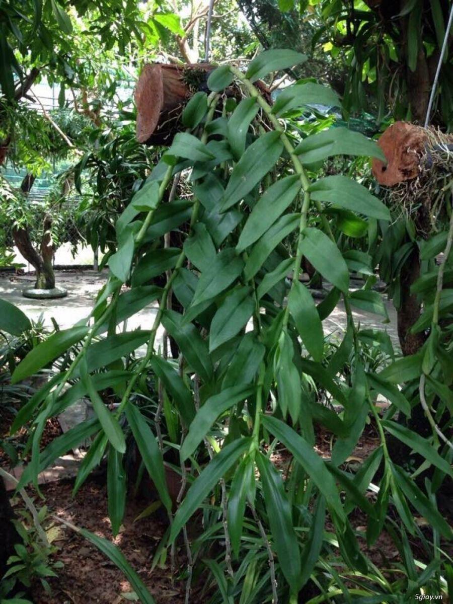 Cách ghép, và chăm sóc cây phong lan