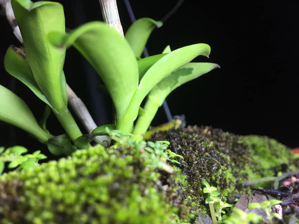 Bệnh thối nhũn trên hoa lan, cách phòng bệnh và điều trị