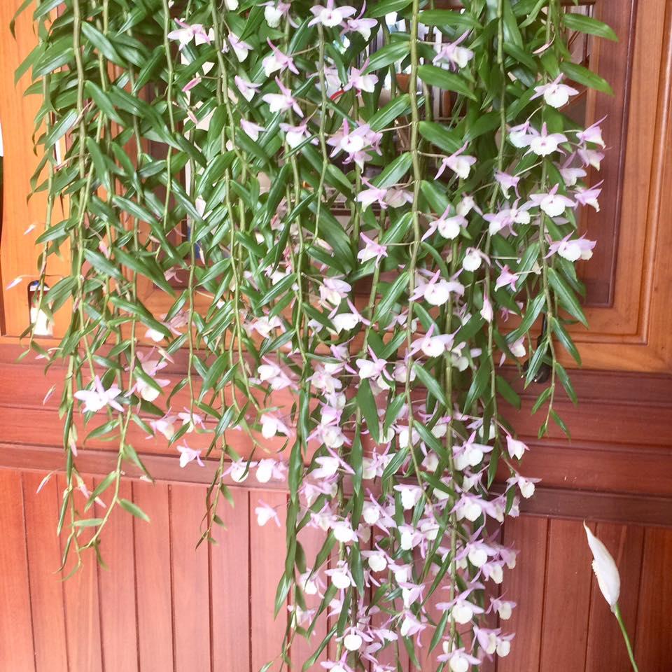 Khi hoa có 1 chút dấu hiệu héo thì nên ngắt hoa đi để dưỡng cây