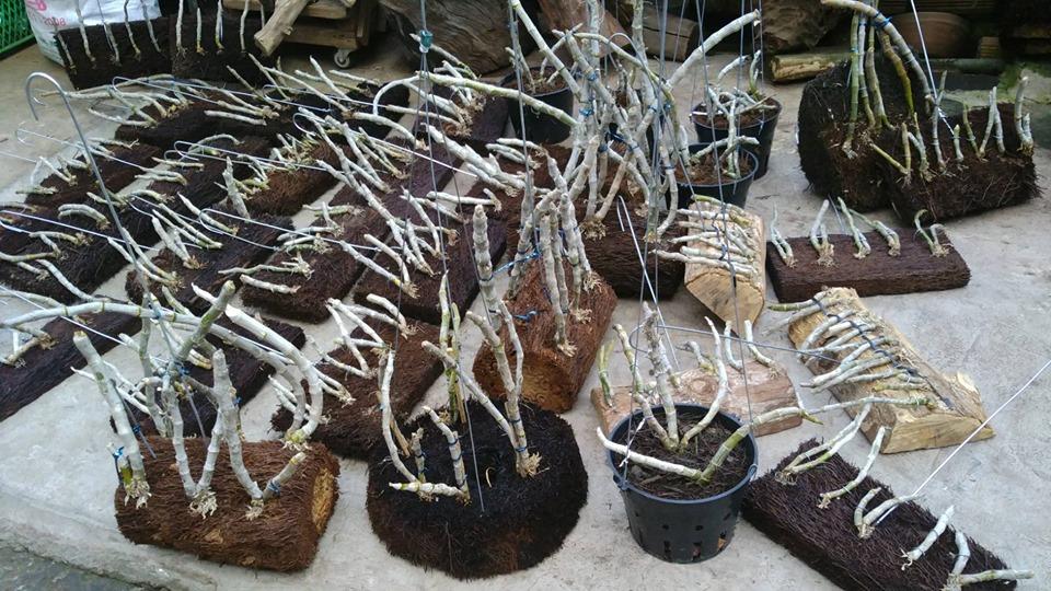 Cách trồng lan TRẦM TÍM