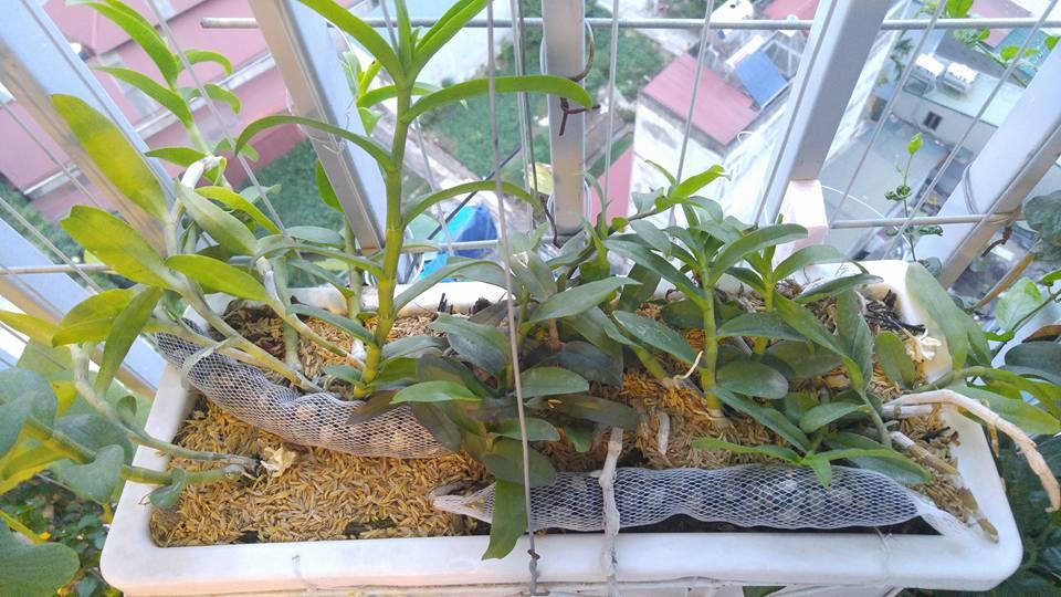 trồng lan trên sân thượng