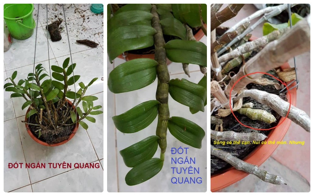 Phi điệp đốt ngắn, thân rụt ở Tuyên Quang