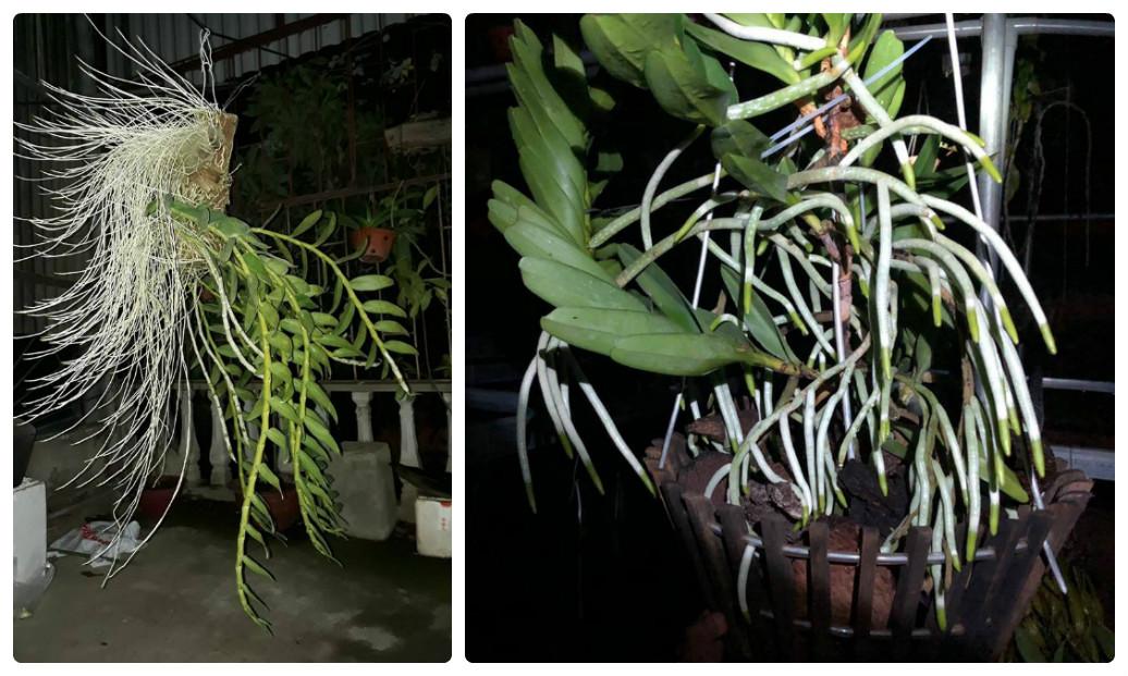 Các vấn đề về rễ hoa lan và cách khắc phục