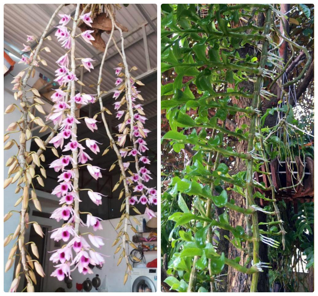 Yếu tố để Lan ra Keiki hoặc ra hoa
