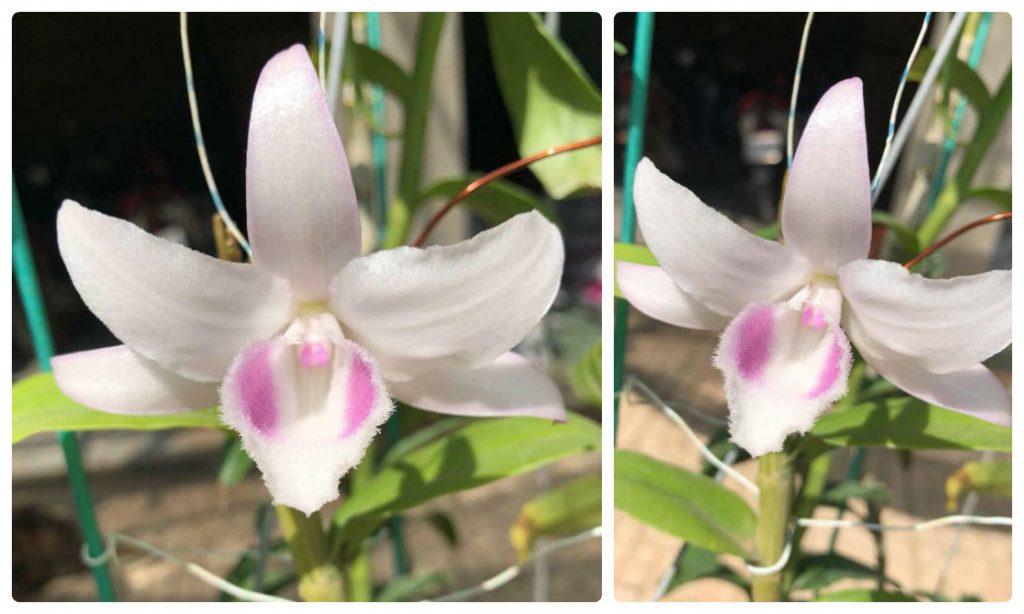 hong cai bang 1024x614 - Cách nhận biết hoa lan đột biến 5 cánh trắng