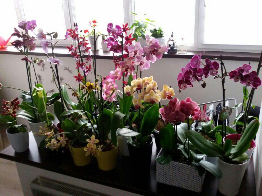 cách trồng lan hồ điệp trong nhà