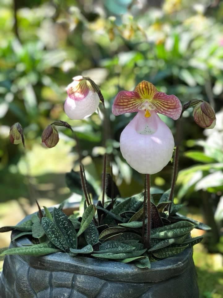 lan hài mốc hồng