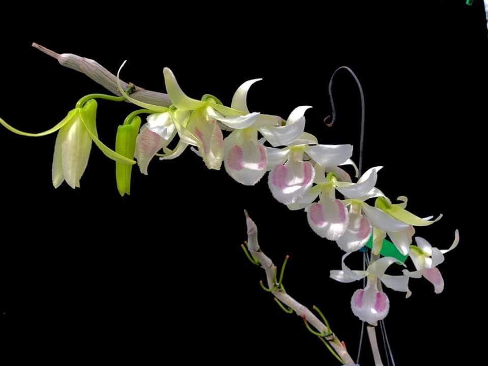 hoa lan đột biến