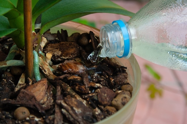 cách tưới nước cho lan hồ điệp