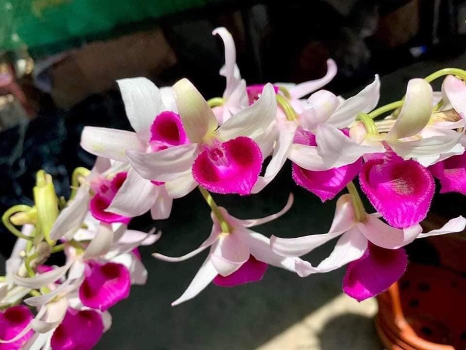 mua hoa lan