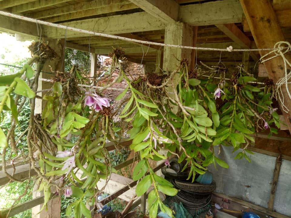 Cách trồng lan rừng mới mua về
