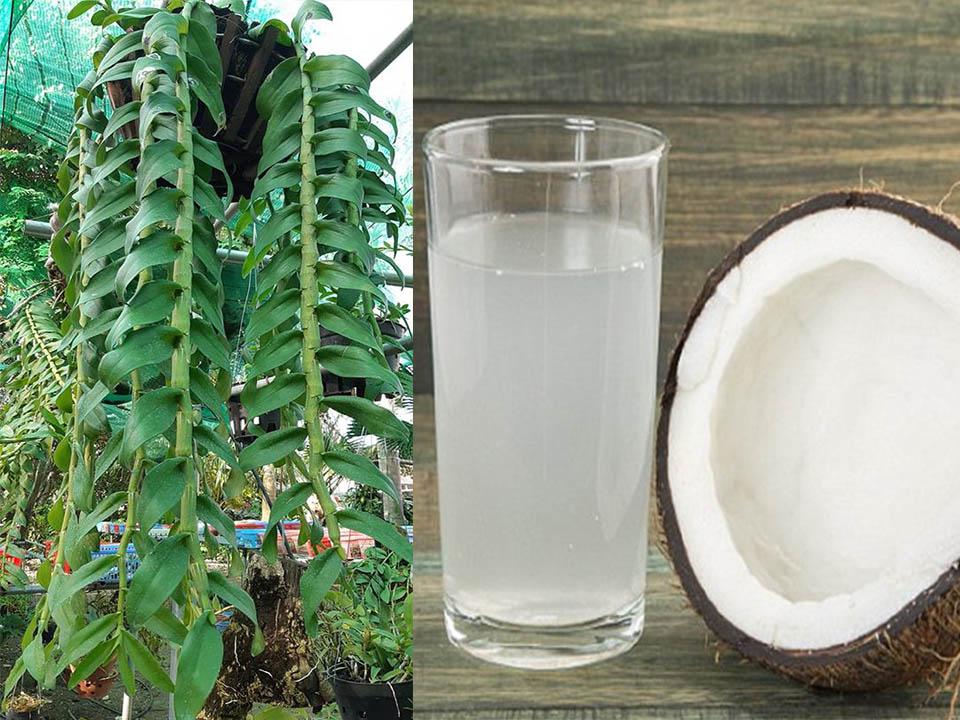 tưới nước dừa cho lan