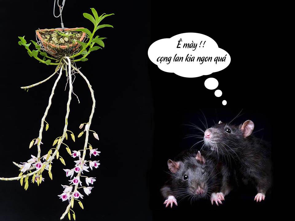 cách trị chuột cắn phong lan