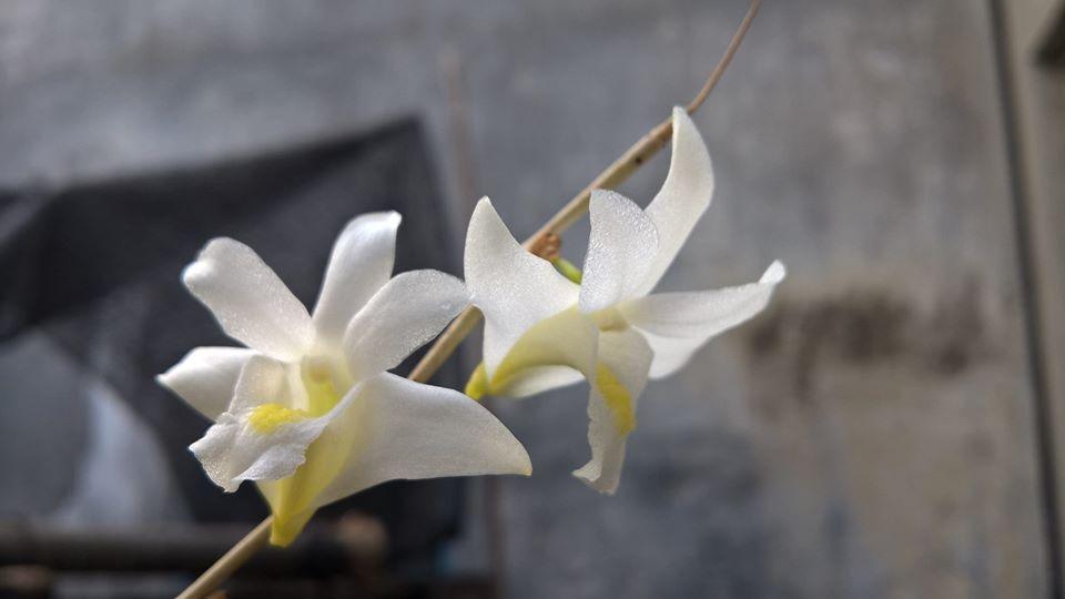 hoa lan bạch câu