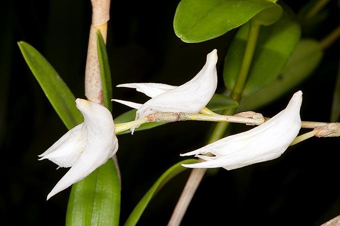 hoa lan bồ câu
