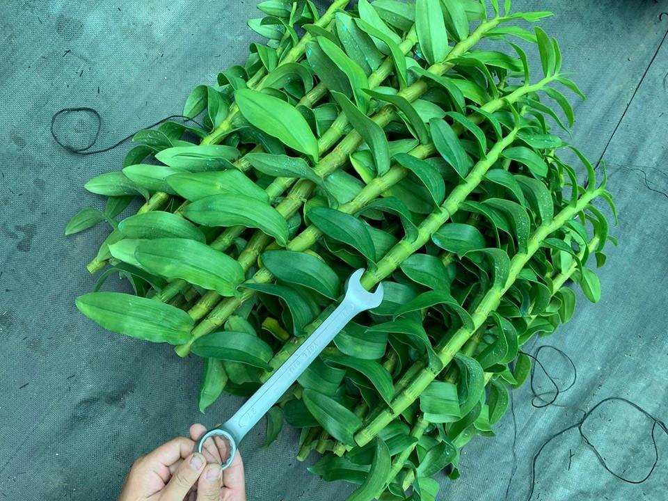 nên trồng lan vào mùa nào