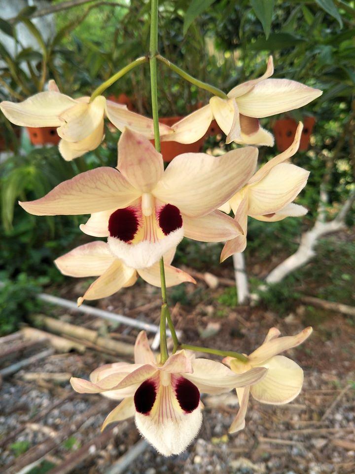 hoa lan hoàng thảo thái bình