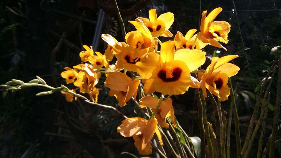 mặt hoa lan kim thoa