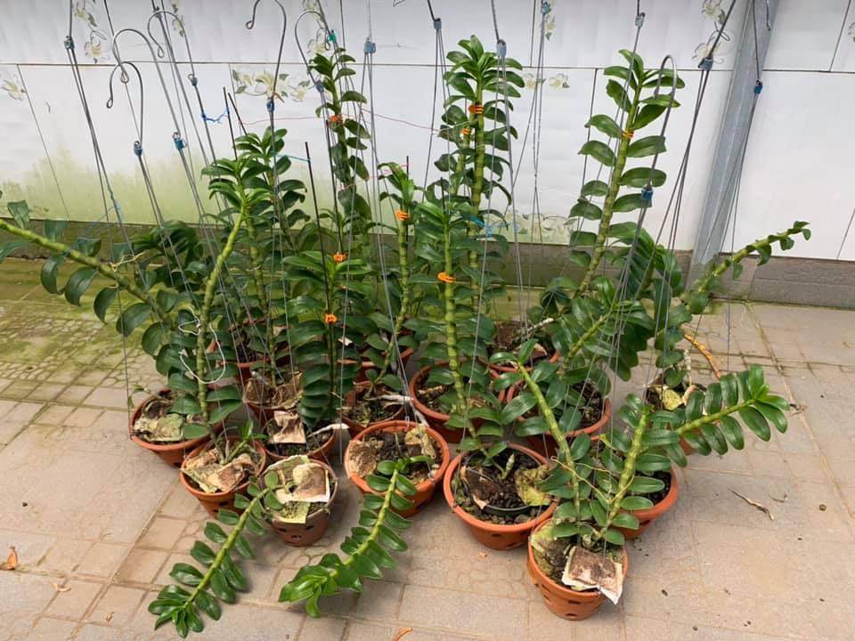 cách trồng lan