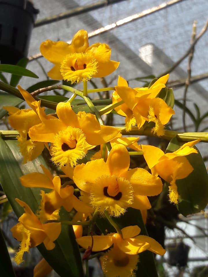 mặt hoa lan hoàng thảo long nhãn