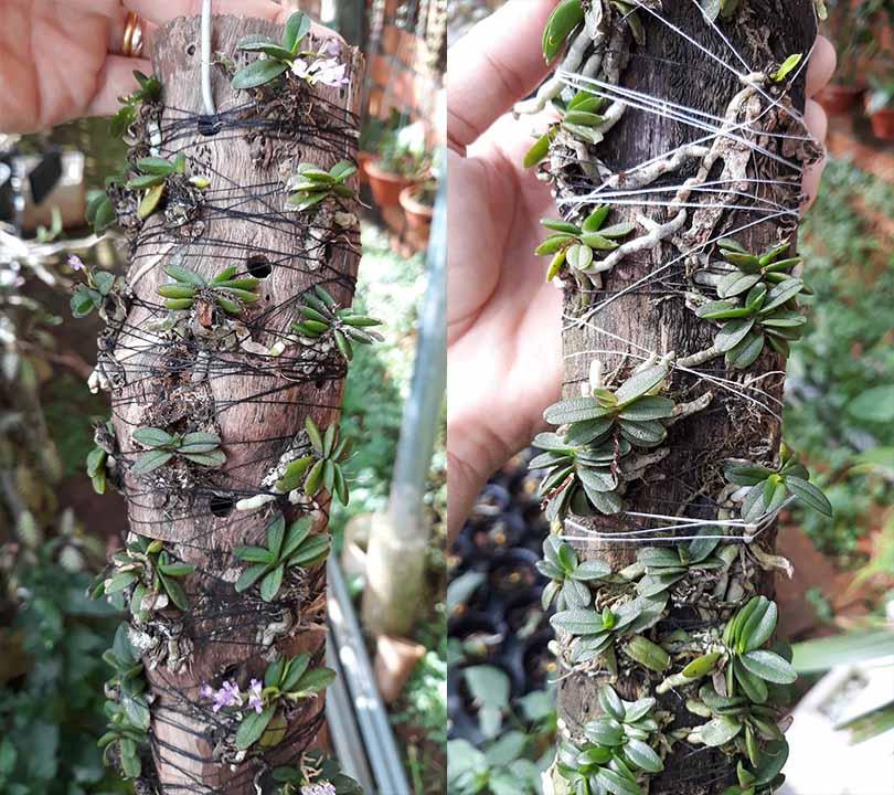 cách ghép lan trứng bướm