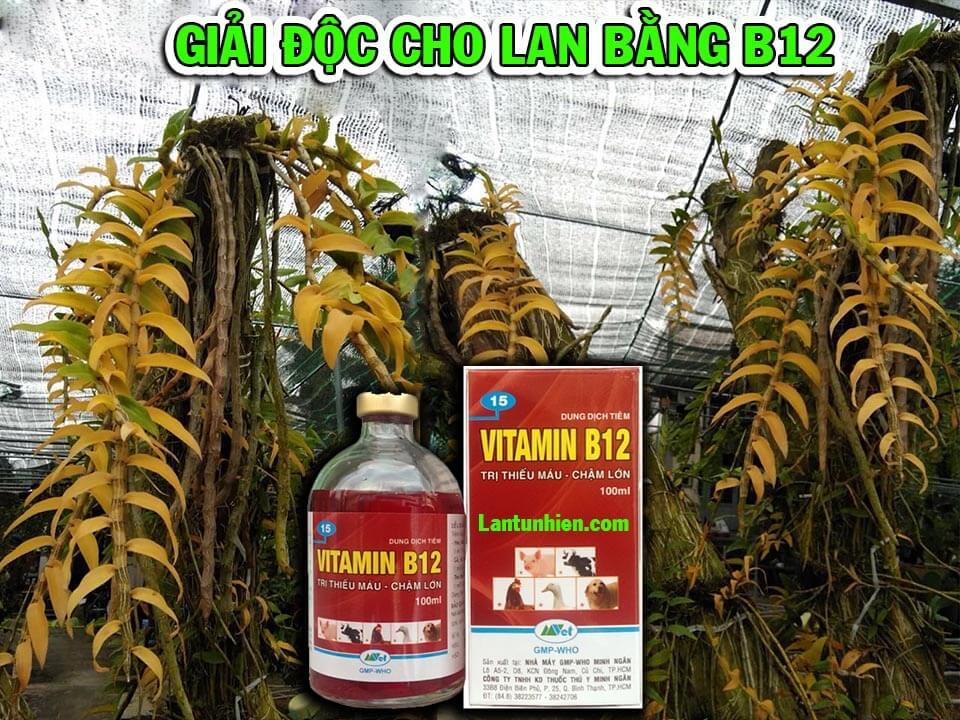 B12 cho lan